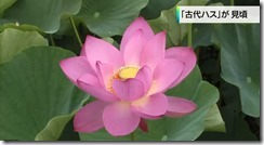 20140704_kodai_hasu3